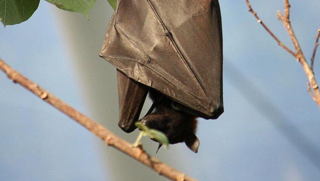 Tentang Vampyrus, Kelelawar Raksasa di Aceh yang Terancam Punah