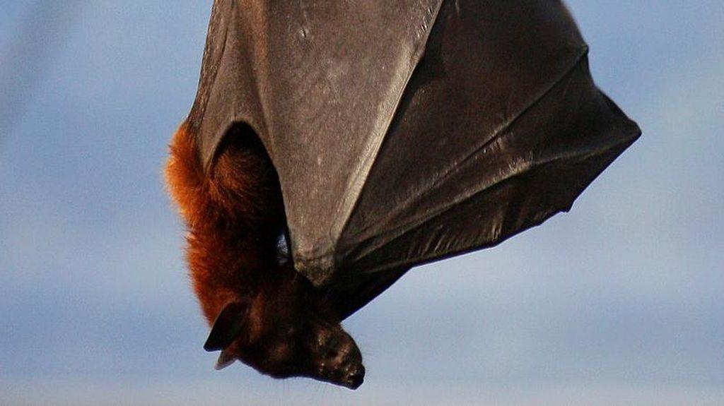 Ini Dampak Jika Kelelawar Vampir Raksasa Punah di Aceh