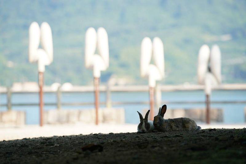 Adalah Okunoshima, atau yang biasa disebut Pulau Kelinci. Dulunya, pada masa perang dunia ke 2, pulau ini merupakan tempat pembuatan senjata biologi (Instagram/uta_utao)
