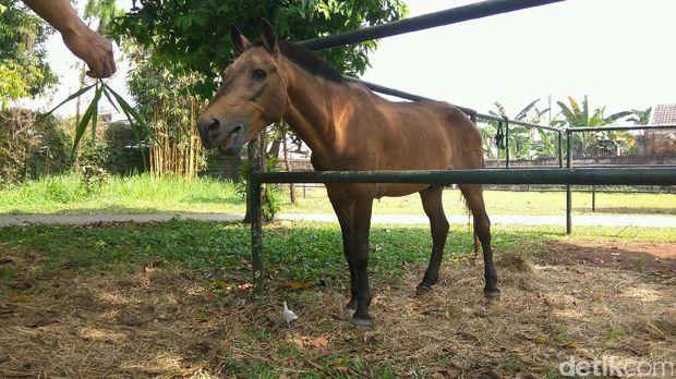 Kuda Chester di rumah baru /