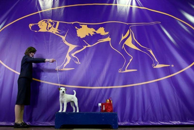 Ratusan anjing berlomba dalam mengambil hati para juri dalam perlombaan Westminster Kennel Club Dog Show di New York (Carlo Allegr/REUTERS)