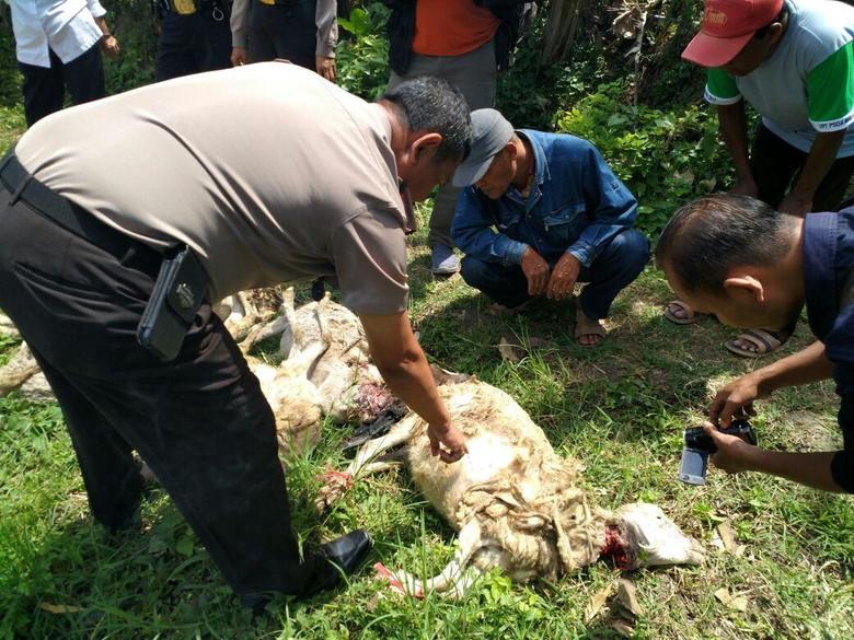 21 Kambing di Malang Mati Misterius Diduga Digigit Vampire Dog