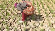 1.880 Hektare Sawah di Kabupaten Bandung Terancam Gagal Panen