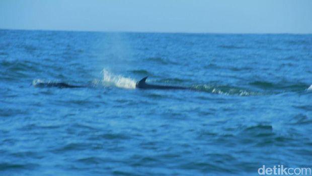 Paus terlihat di Pantai Nguyahan Gunungkidul.