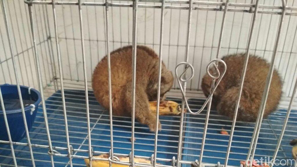 BKSDA Aceh Sita 2 Kucing Hutan dan Siamang dari Warga