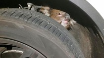 Kasihan, Koala Ini Nangis Terperangkap di Ban Mobil