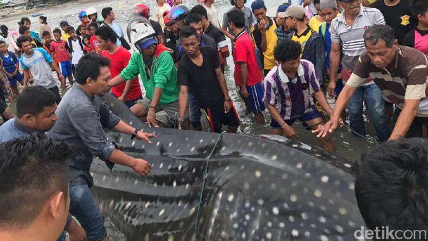 Nyangkut di Jaring Nelayan, Hiu Panjang 5 Meter di Palu Dievakuasi
