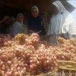 Kementan Inovasi Mesin Panen Bawang Merah