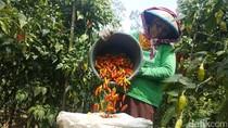 Petani Cabai Minta Bantuan Pengembangan Kawasan Sesuai Kualitas