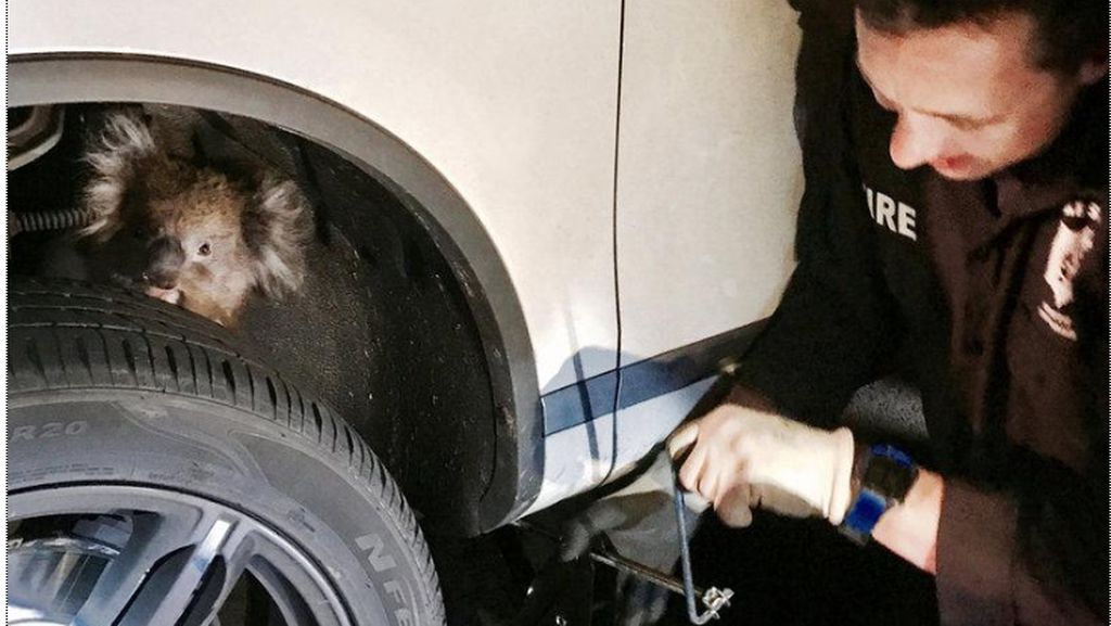 Bergantung di Kaki-kaki Mobil 4x4, Koala Ini Masih Hidup