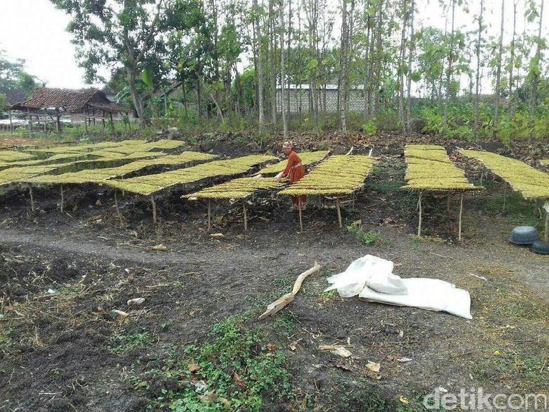 Produksi Tembakau Lamongan Melonjak Meski Dilanda Kekeringan