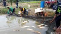 Banyak Ikan Arwana Mati di Riau, Dampak Lumpur Proyek Tol?