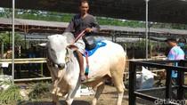 Melihat Kontes Sapi se-Jawa Tengah di Boyolali