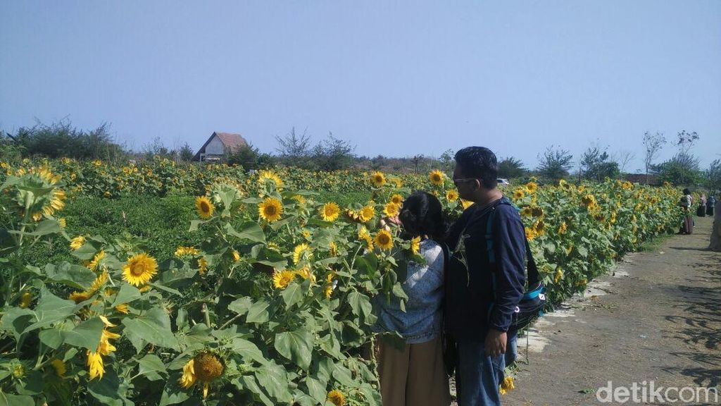 Foto: Taman Bunga Matahari di Bantul yang Seperti di Luar Negeri