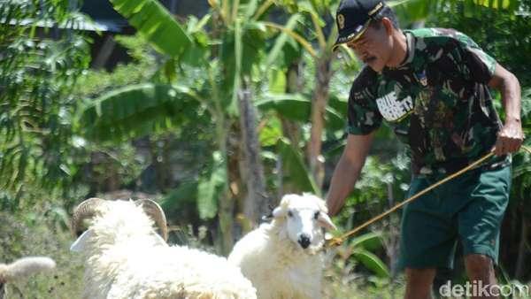 Demi Rezeki Halal, Serma Yadi Tak Malu <i>Ngangon</i> Kambing