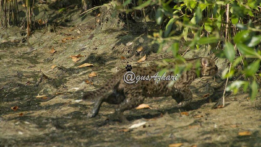 Penampakan Kucing Bakau Tertangkap Kamera di Mangrove Wonorejo