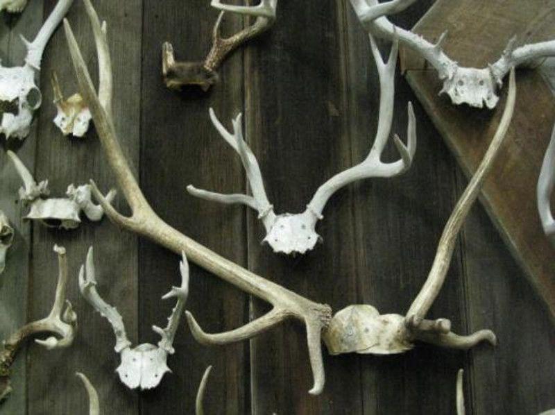 Tanduk-tanduk ini milik seorang kolektor AS, James Philips yang begitu terobsesi dengan tanduk rusa (antlerman.com)