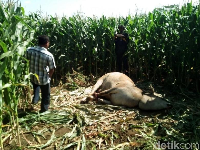 Bangkai Sapi Diduga Hasil Curian Ditemukan di Ladang Jagung