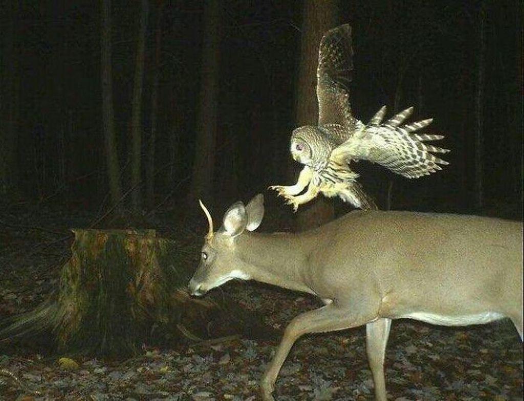 Cara kerja kamera tersebut, biasanya diletakkan diposisi yang sering dilewatin hewan dan kemudian diatur waktunya. Burung hantu siap menerkam sang rusa. (Foto: boredpanda)