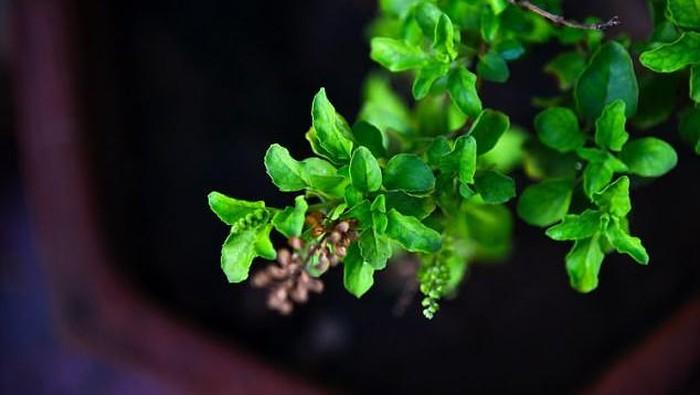 Holy basil dikenal sebagai ratu herba. Bisa digunakan untuk menghilangkan stres dan kecemasan. Konsumsinya membantu meredakan gejala seperti sakit kepala kronis, migrain, ketegangan pada otot, dan depresi ringan. Sekaligus dapat mengatasi insomnia dan kelelahan.