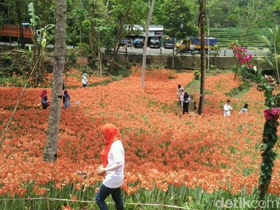 Kembali Bermekaran, Taman Bunga Amarilis Gunungkidul Sedot Traveler