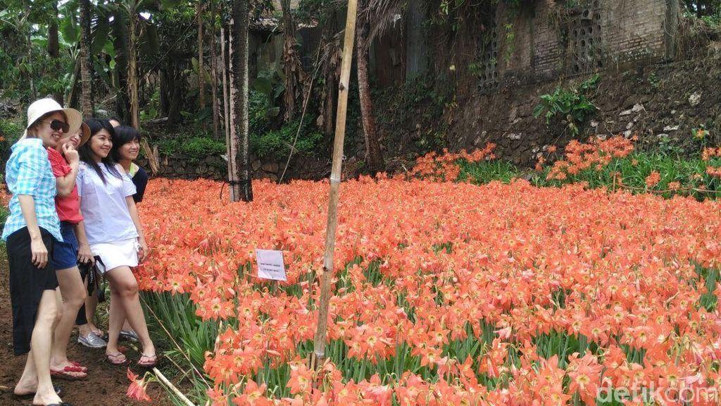 Foto: Taman Bunga Amarilis Gunungkidul yang Bagai di Luar Negeri