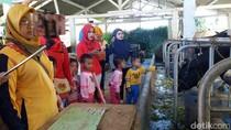 Wisata EdukasI Susu Sapi di Kampung Krucil Probolinggo Diminati