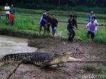 Banjir Datang, Buaya Ukuran Besar Muncul Muncul di Sungai Kebumen