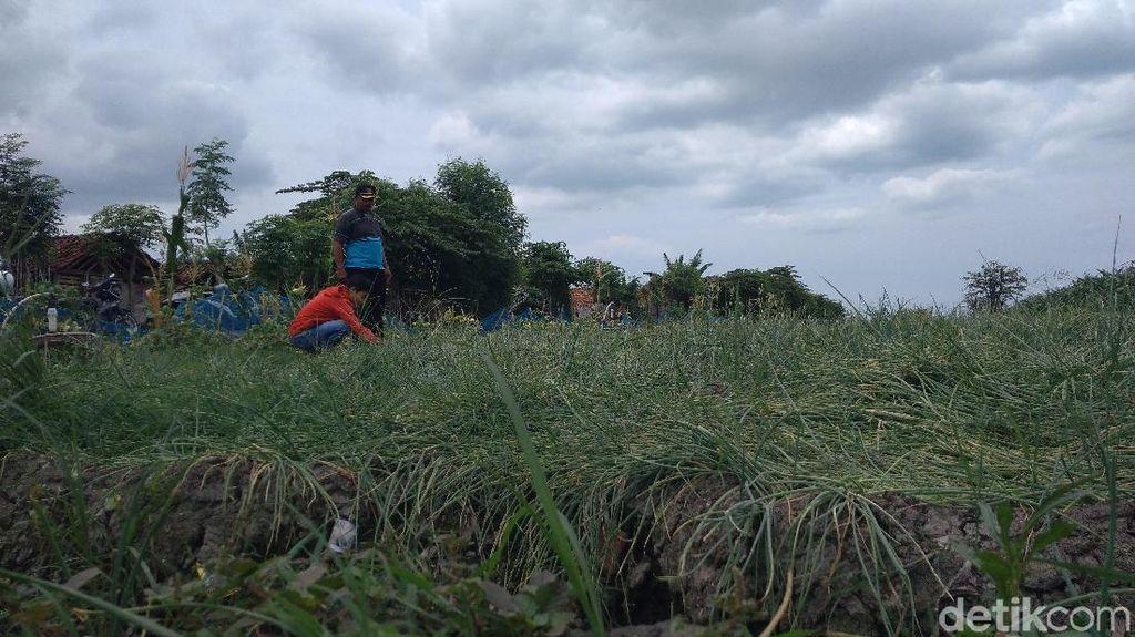 Petani di Cirebon Curhat Harga Bawang Merah Anjlok