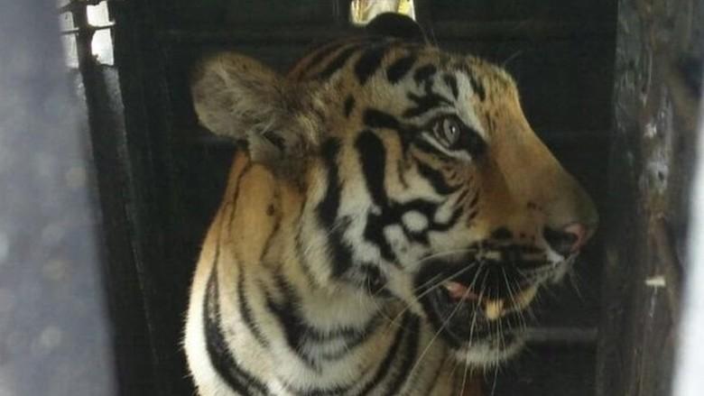 Harimau Pemakan Manusia Mati Tersengat Pagar Listrik di India