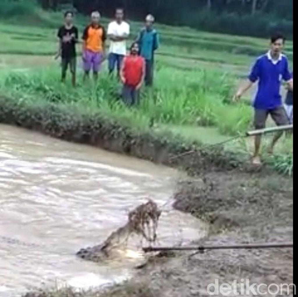 Heboh Buaya di Jawa, Dari Rebutan Wilayah Hingga Nyeberang ke Laut