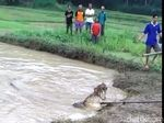 Foto: Heboh Buaya Raksasa Muncul Usai Banjir di Kebumen