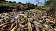 Misteri Ribuan Ikan Mati di Paraguay