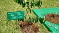 Pohon endemik Sulawesi ini juga sering disebut kayu hitam