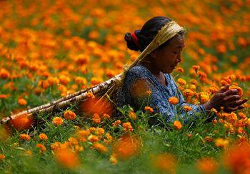 Jelang Perayaan Diwali, Petani di Nepal Panen Bunga Marigold