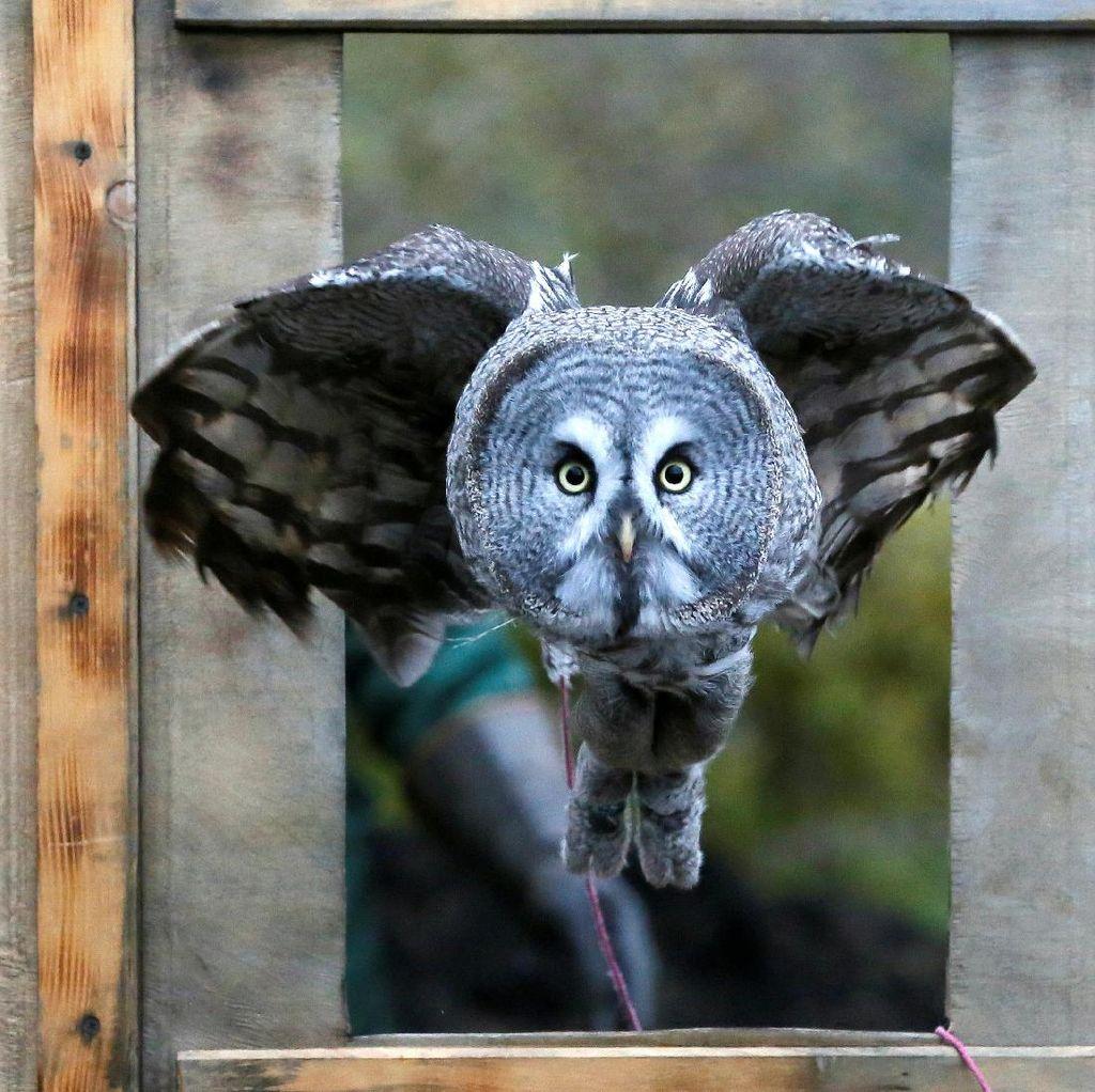 Foto: Tatapan Tajam Mykh, Burung Hantu Besar Asal Rusia