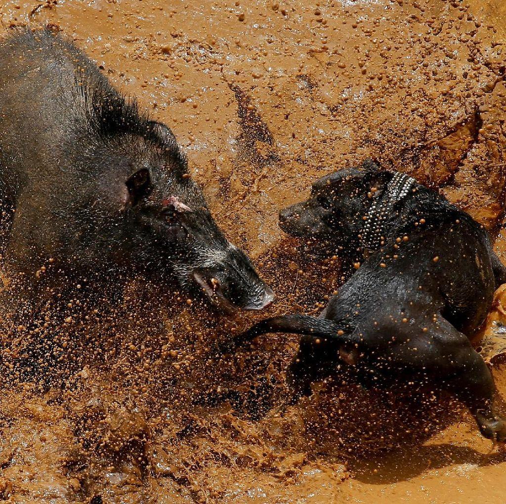 Adu Bagong Disorot Dunia: Antara Tradisi dan Kekerasan terhadap Hewan