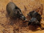 Adu Bagong Disorot Dunia: Antara Tradisi dan Kekerasan pada Hewan