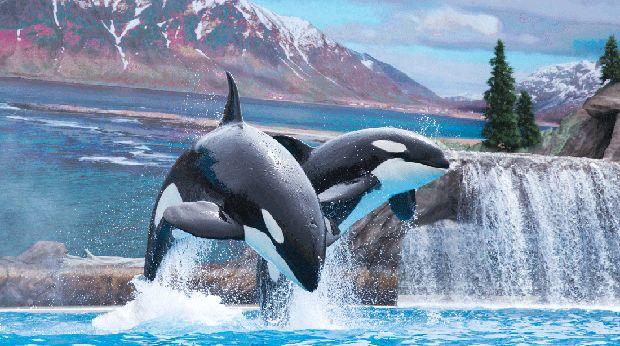 Pertunjukan Paus Orca di Seaworld San Diego