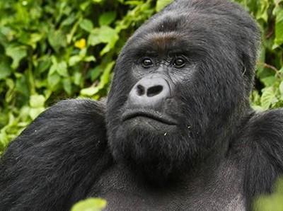 Berani? Trekking dan Bertemu Langsung dengan Gorila