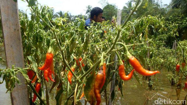 Tanaman cabai terendam banjir di Cilacap