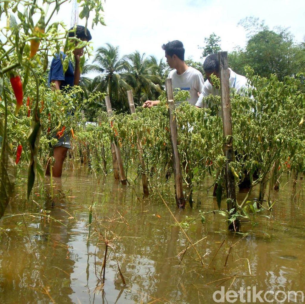 Kebanjiran, Petani Cabai di Cilacap Panen Lebih Awal