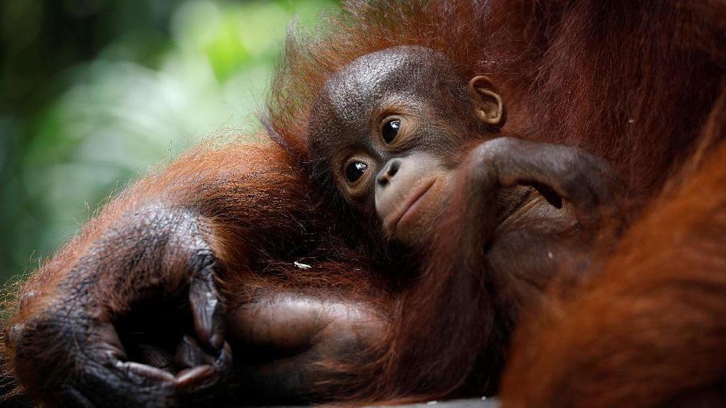 Foto: Penampakan Bayi Orangutan yang Bikin Gemas