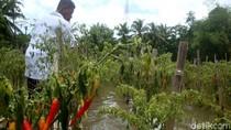 Terendam Banjir, Petani Cabai Panen Dini