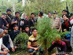 BNN Sumsel Temukan Ladang Ganja di Tengah Kebun Kopi Empat Lawang