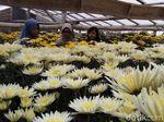 Cantik! Di Kampung Ini Anda Bisa Selfie Bareng Hamparan Bunga Krisan