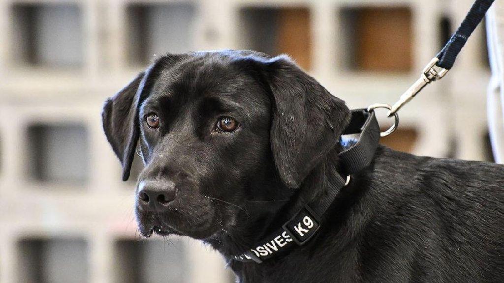 Foto: Tingkah Laku Lulu, Si Labrador yang Dipecat CIA