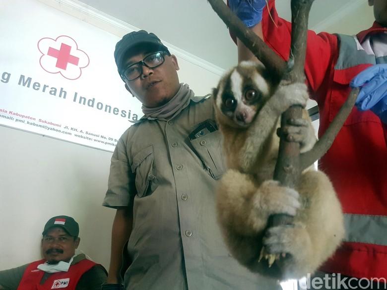 Warga Sukabumi Temukan Kukang yang Sempat Dikira Kucing