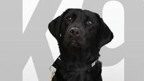 Ogah Endus Bom, Anjing Labrador Ini Dipecat CIA