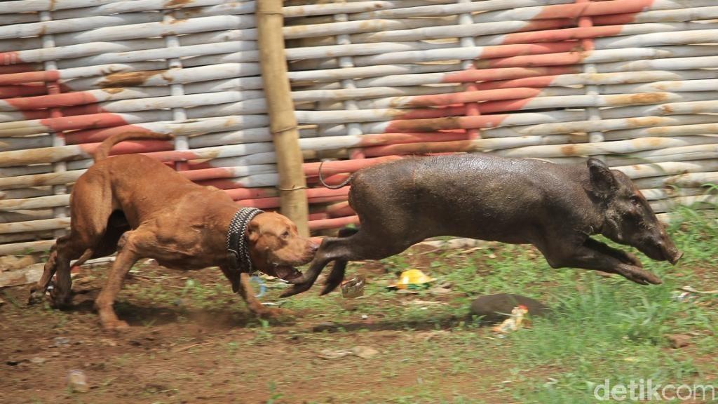 Sadis,  Adu Bagong di Kabupaten Bandung Bak Pertarungan Gladiator